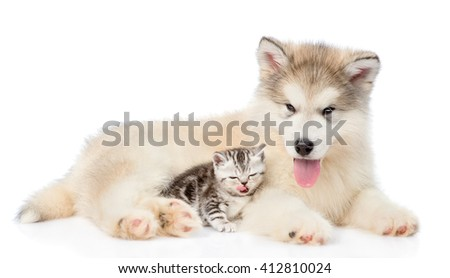 Tabby kitten lying with Alaskan malamute puppy. isolated on white background - stock photo