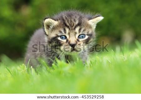 Tabby kitten on lawn - stock photo
