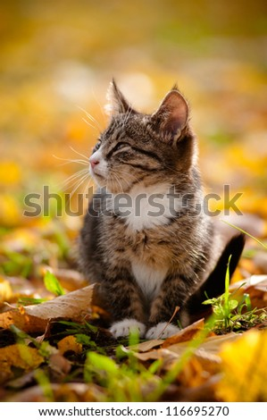 tabby kitten outdoor on autumn leaves - stock photo