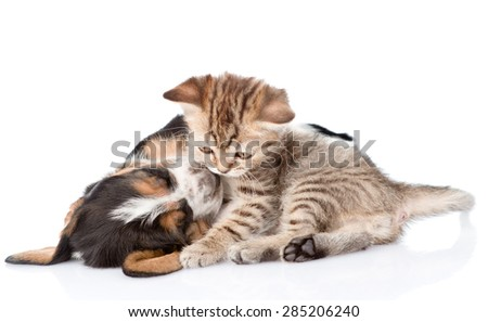 Tabby kitten playing  with basset hound puppy. isolated on white background