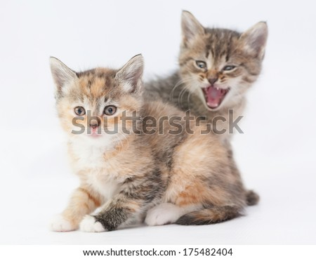 Tabby kitten scares tricolor kitten on white background