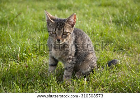 tabby kitten sitting on the lawn
