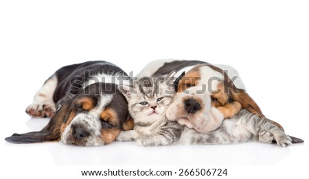 tabby kitten sleeping with Basset hound puppies. isolated on white background