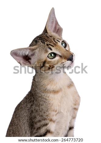 Tabby kitten with big ears, Oriental breed, closeup portrait on white background - stock photo