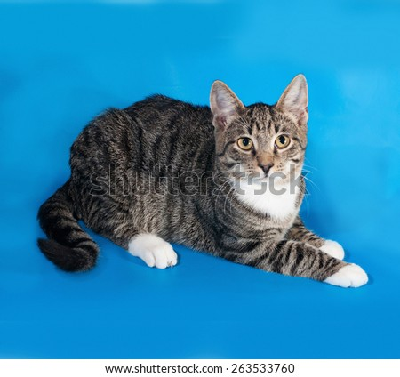 Tabby kitten with white spots lies on blue background - stock photo