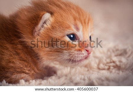 Tabby red kitten portrait