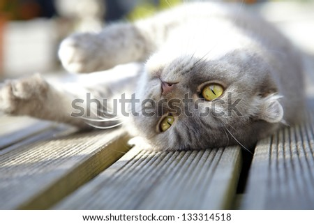 Tabby Scottish Fold cat lying on balcony, selective focus - stock photo