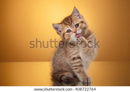 Tabby Scottish kitten, portrait kitten on a studio color background - stock photo