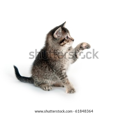 Tabby shorthair kitten swinging its paw and playing on white background - stock photo