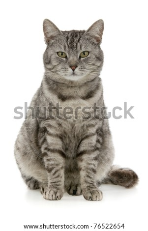 Tabby sits, on white background. - stock photo