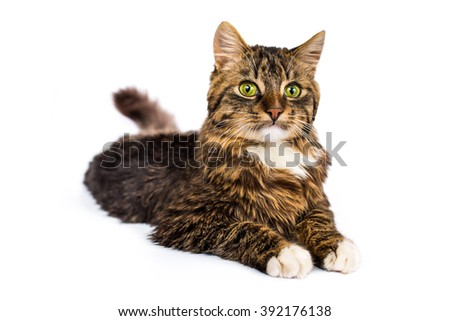 Tabby yang cat lying on white background