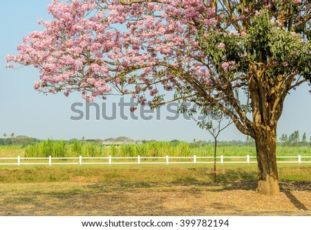 Tabebuia or Pink trumpet flower tree in full bloom in green field