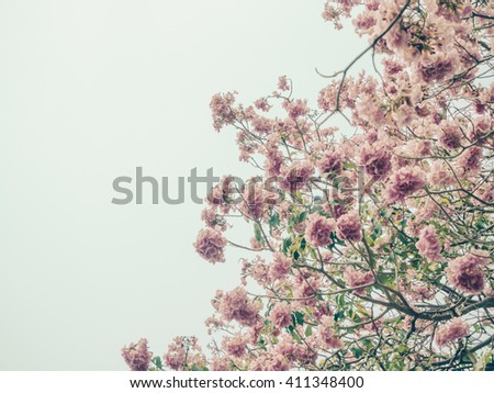 Tabebuia rosea flower in soft and blur vintage tone
