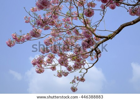 Tabebuia rosea is a Pink Flower neotropical tree. common name Pink trumpet tree (Selective Focus)