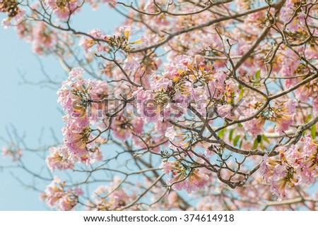 Tabebuia rosea. Tabebuia rosea is flower, Native to Central America and South America  is the national tree of El Salvador. This photo have deph of field. - stock photo