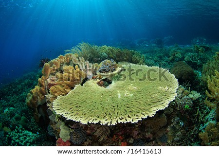 Table Coral And Sun Rays In Indonesia