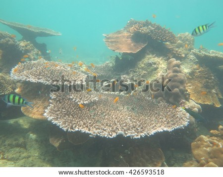 Table coral.shallow water in Myanmar sea can be seen table corals .big table coral.  - stock photo