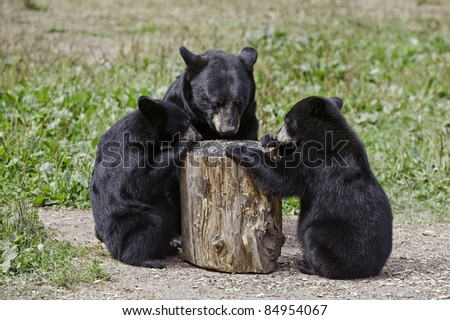 Table for Three.  Black bear mother and two cubs (Ursus Americanus) eat a cache of sunflower seeds from the top of an upturned log. - stock photo