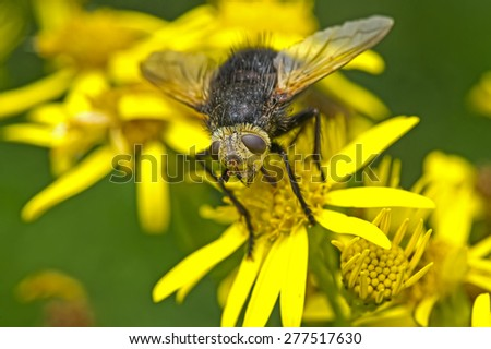 Tachinid fly resting on a dandelion