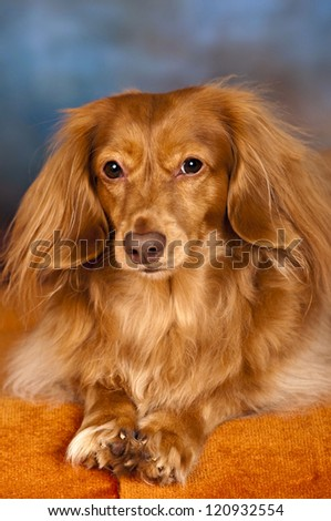 Taco the long-haired dachshund - stock photo