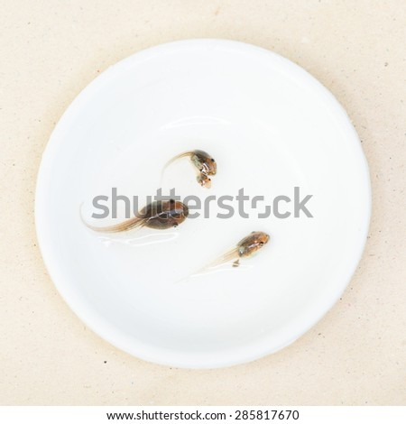 Tadpole in white bowl.