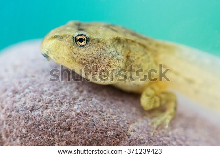 Tadpole of European common brown frog (Rana temporaria) under water on rock bottom during the summer in lake.