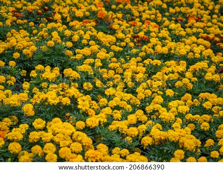 Tagetes flower (marigold) as background. Selective focus with shallow depth of field.   - stock photo