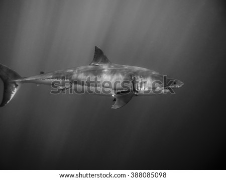 Tagged Great white shark for conservation swimming under sun rays in the Pacific Ocean at Guadalupe Island in Mexico - stock photo