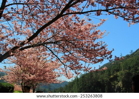 Taichung, TAIWAN - February 15 2013: the annual cherry blossom, attracting a large number of tourists