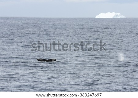 Tail and blow spouts of humpback whales with distant iceberg in Antarctica.