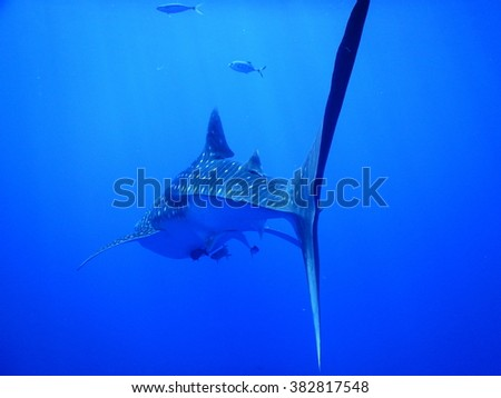 Tail end of a whale shark, Rhincodon typus - stock photo