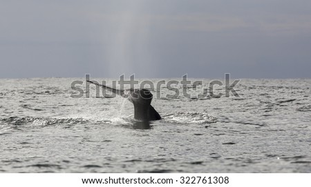 Tail fin of a gray whale in Pacific Ocean, Canada - stock photo