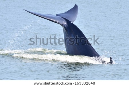 Tail fin of Bryde's whale in gulf of Thailand  - stock photo