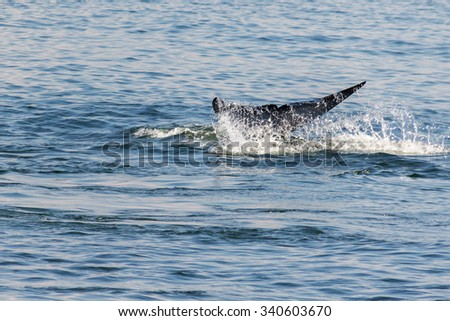 Tail fin of Bryde's whale in gulf of Thailand ; Motion blur - stock photo