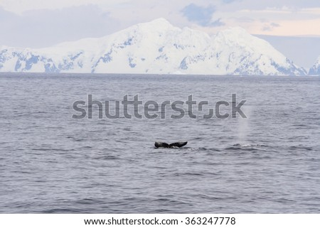 Tail flute and blow spout of humpback whales in waters off shores of Antarctica Peninsula.