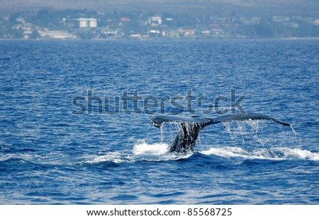 Tail Humpback Whale with island. Humpback Whale diving in to the sea next to coast of Hawaii and only tail have left outside of sea.
