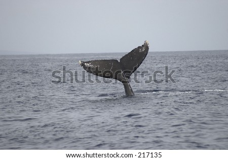 Tail of a whale in the sea, Maui, Hawaii,