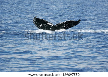 Tail of Whale. Humpback Whale diving in to the sea next to coast of Hawaii and only tail have left outside of sea. - stock photo