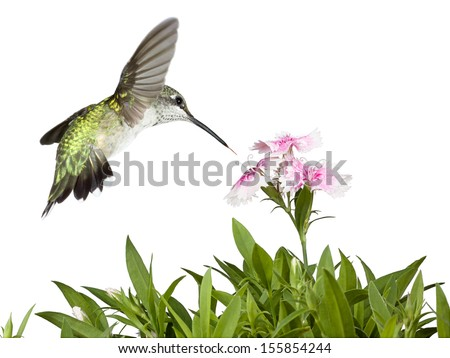 Tail wide-open and feathers glowing in green iridescence, a hummingbird flies over the green leaves of several dianthus flowers into the pink and white petals of three prominent dianthus blooms. - stock photo