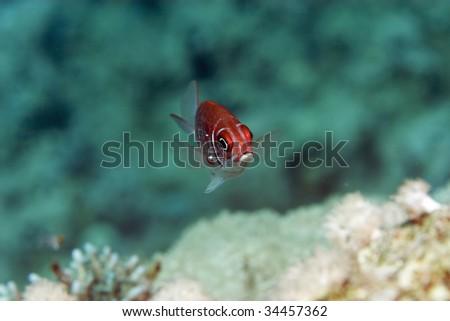 tailspot squirrelfish - stock photo