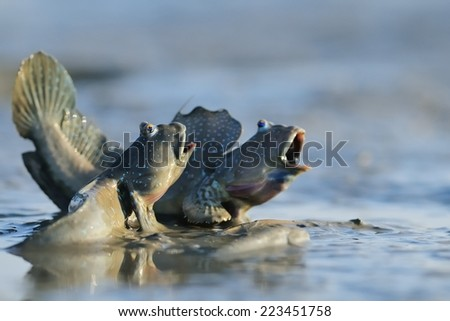 Taiwan er-Jen Creek estuaries, intertidal mudskippers, is witnessing a fish evolving into amphibians, had driven into the field within the scope of small organisms - stock photo