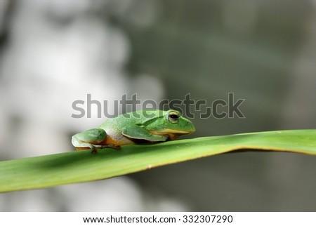 Taiwan green treefrog closeup on green leaf. - stock photo