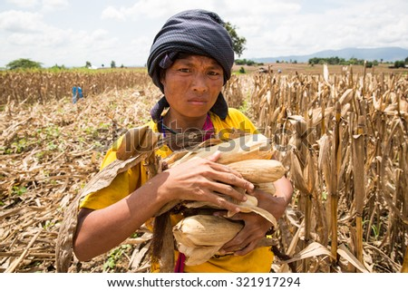 TAK THAILAND - SEP28 : Unidentified female Karen migrant  harvesting in cornfield at Ban Thaluang, Mae Ramad, Tak, Thailand on SEPTEMBER28,2015
