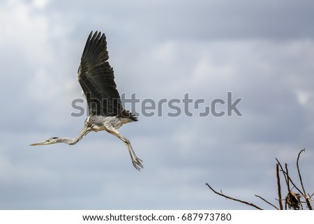 Take off! A black headed heron takes flight in the Selous Game Reserve in Tanzania, Africa.