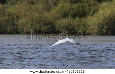 Take off of a Mute Swan