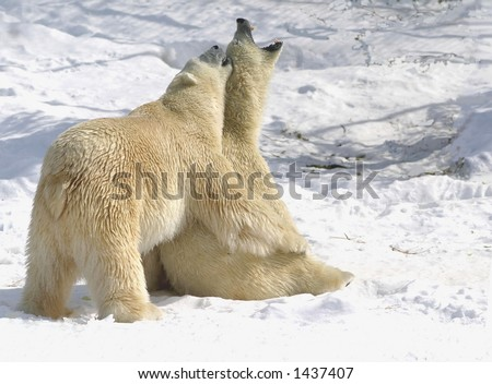 taken at cochrane polar bear facility. The 24 year old male was trying to copulate with 6 year old female for over 2 hours. The female was getting fed up. - stock photo