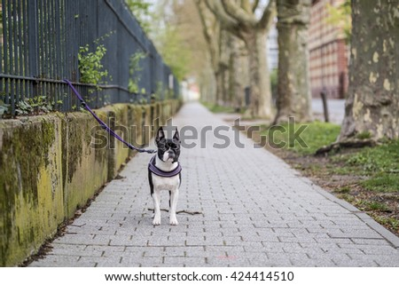 Taking a Walk with a Black and White Boston Terrier - stock photo