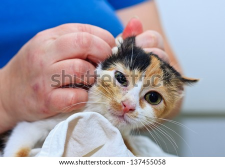 Taking care of a two months old sick calico kitten in a cat refugee - stock photo