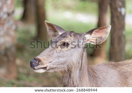Taking head shot on the deer. - stock photo