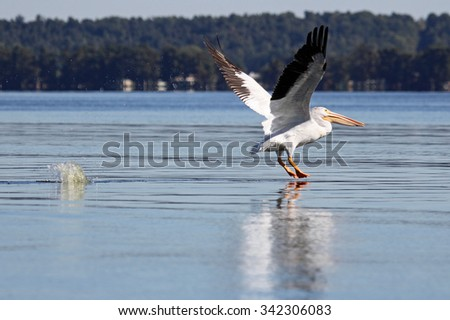 Taking off - wild pelican - Tennessee